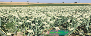 onion seed production